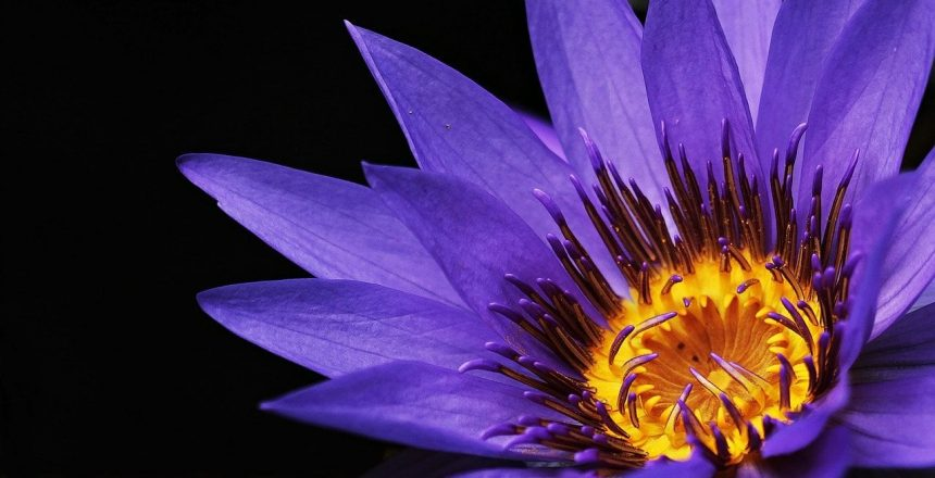 water-lily-2334209_1280 (1)